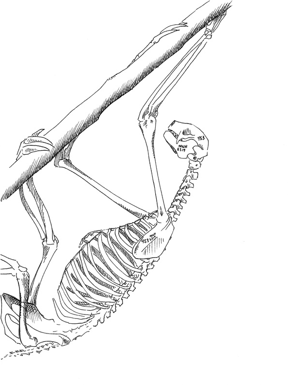 Carmen Martin Sketchbook: Three-toed sloth skeleton