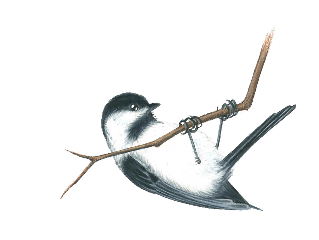 Carmen Martin, Art Things.  Black-capped chickadee.
