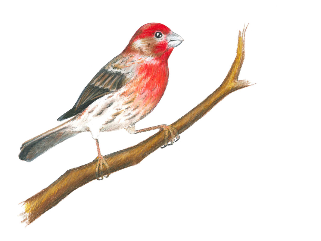 Carmen Martin, Art Things.  House Finch.