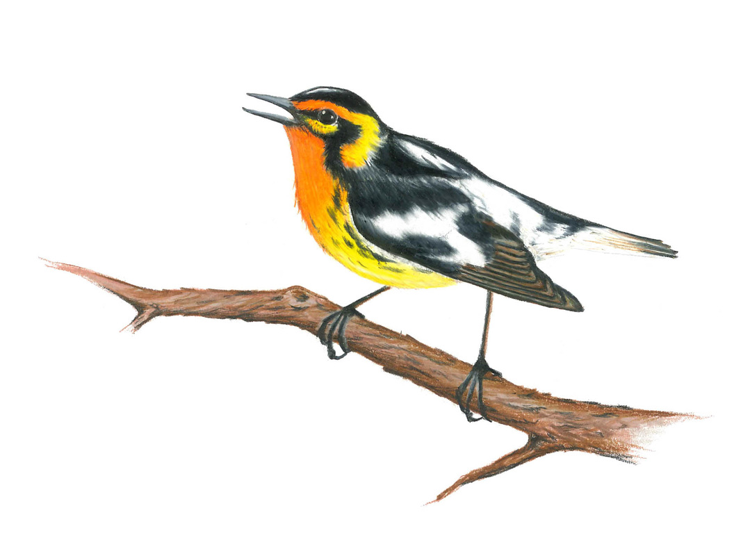 Carmen Martin, Art Things.  Blackburnian Warbler.